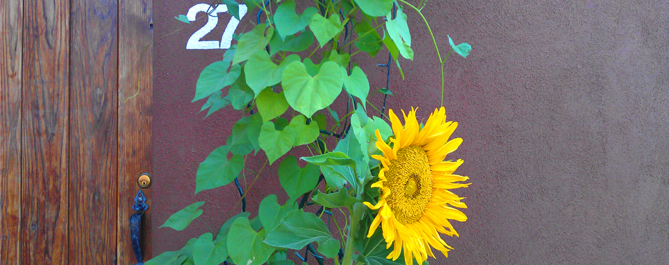 Sunflower in front of adobe wall, next to a La Luz homeowner's gate